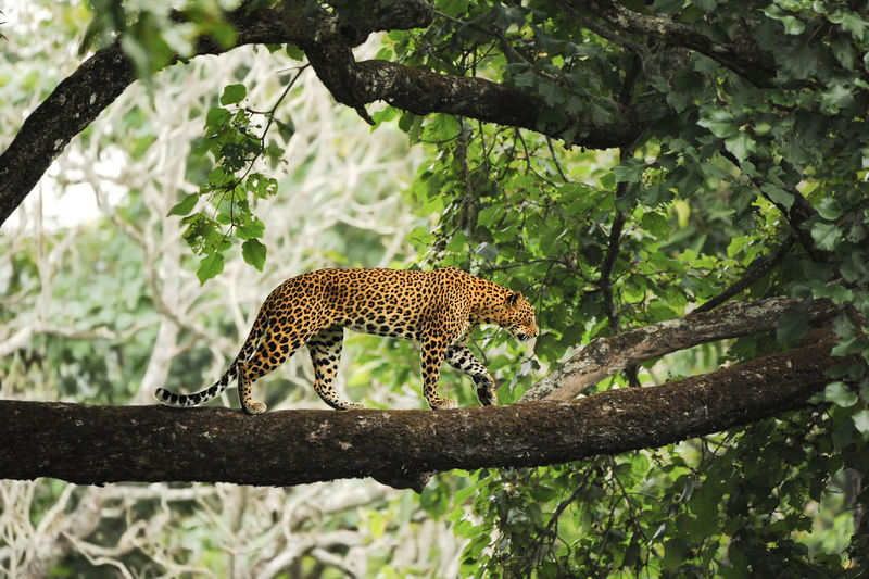 Wild leopard on a big branch Animal Themes Animal Wildlife Animals In The Wild Beauty In Nature Branch Cheetah Day Ecosystem  Endangered Species Forrest Full Length Green Color Jungle Leopard Leopards Mammal Nature No People One Animal Outdoors Safari Animals Safe The Planet Tree Wildlife & Nature Wwf Fresh On Market 2017