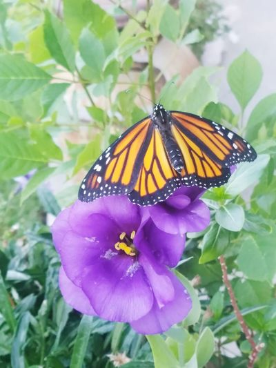 Be. Ready. TO FLY ❤❤ Animal Wildlife Fragility Butterfly - Insect Beauty In Nature Butterfly Monarch Butterfly Perching Eyem Mission