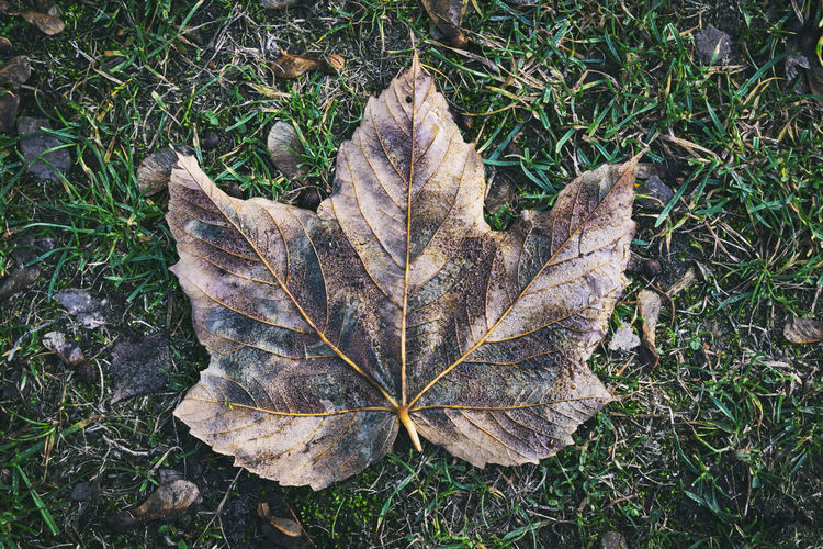 Close-Up of Fallen Maple Leaf Berlin Germany 🇩🇪 Deutschland Horizontal Outdoors No People Color Image Plant Plant Part Leaf Nature Day Autumn Forest Botany Dry Land Change High Angle View Close-up Vulnerability  Maple Leaf Natural Condition Fragility Fallen Grass