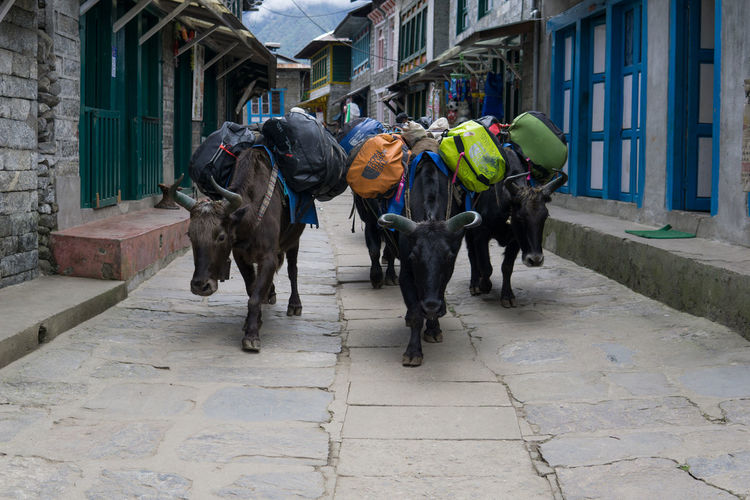 Luggage Transport with Yaks in Lukla, Nepal Himalayas Nepal Transport Yak Architecture Building Exterior Built Structure City Day Domestic Domestic Animals Group Of Animals Herbivorous Luggage Lukla Mammal Pack Animal Street Vertebrate Working Animal