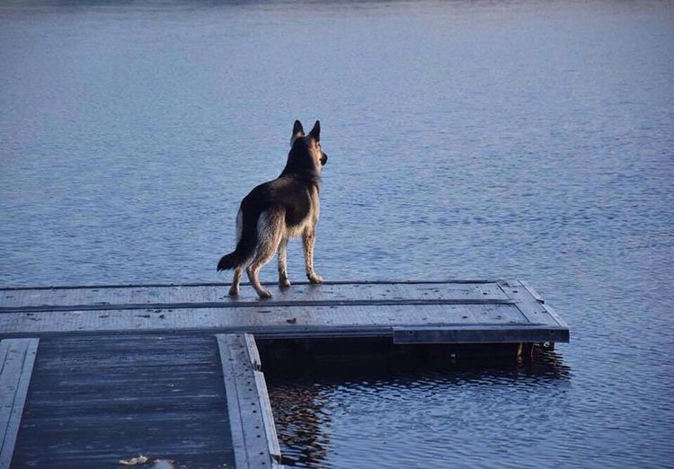 Water German Shepherd Riverbank Oakland Dog Pets Beauty In Nature Nature First Eyeem Photo