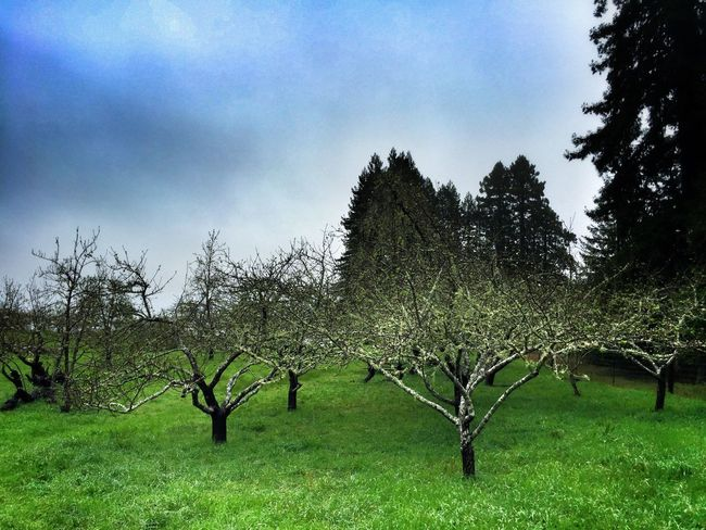 Wild Orchard Orchard Trees And Sky Rainy Day California Coast Tree_collection  Trees Rainy Days Coastal Life WestCoast Fort Ross Travelling Nature Nature Photography Iphone6 ShotOniPhone6 Grass Sea Ranch Fruit Trees