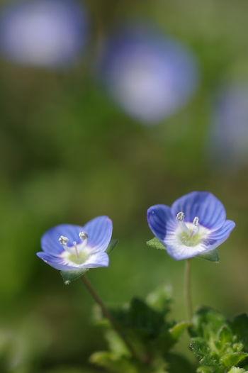 気がつくと道端にこいつがたくさん咲いていた。 Veronica Persica オオイヌノフグリ 星の瞳 Flower Head Flower Petal Purple Close-up Wildflower