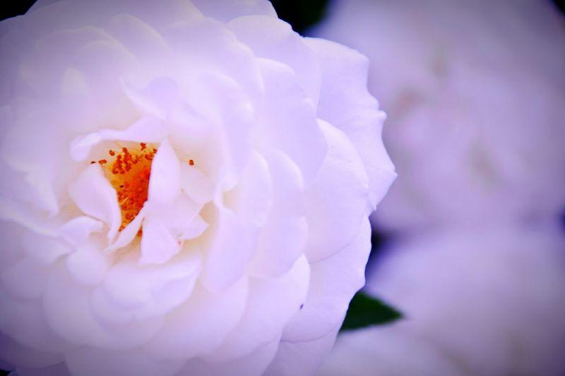 Rose🌹 White Flower 植物園 Osaka,Japan Flowers,Plants & Garden