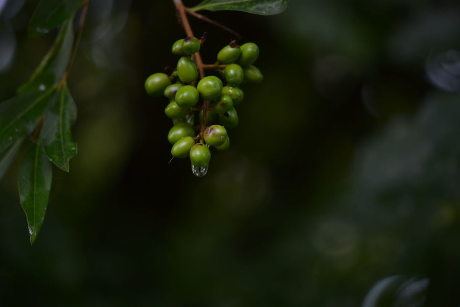 Agriculture Beauty In Nature Bunch Close-up Day Focus On Foreground Food And Drink Freshness Fruit Grape Green Color Growth Healthy Eating Leaf Nature No People Outdoors Plant