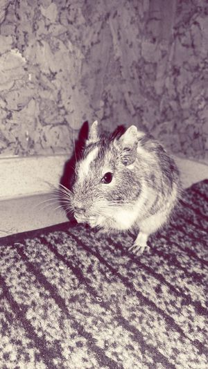 #Mouse #photography #beautiful #mypets Animal Themes One Animal Pets