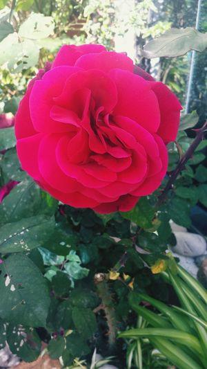 Mom's Garden Flower