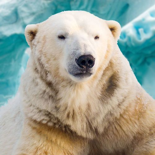 Polar bear named kay.