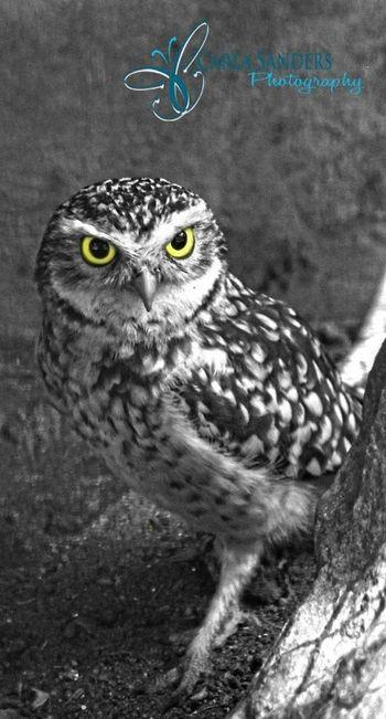 My Best Photo 2014 Owl Yellow Eyes Blackandwhite Black And White Animals cannon camera lucky shot