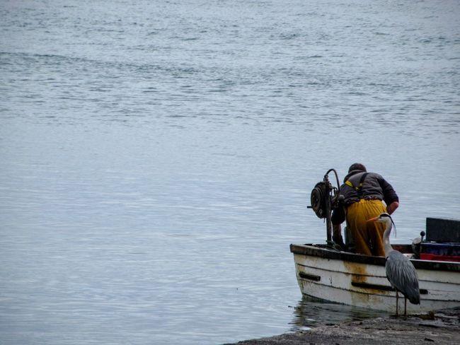 The fisherman's friend Grey Heron  Fisherman Boat Feeding Time Tame Quayside Mizen Peninsula West Cork Wildatlanticway Ireland