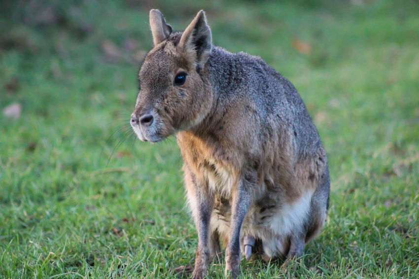 Animal Themes Animal Wildlife Animals In The Wild Close-up Day Field Grass Mammal Nature No People One Animal Outdoors Patagonian Cavy