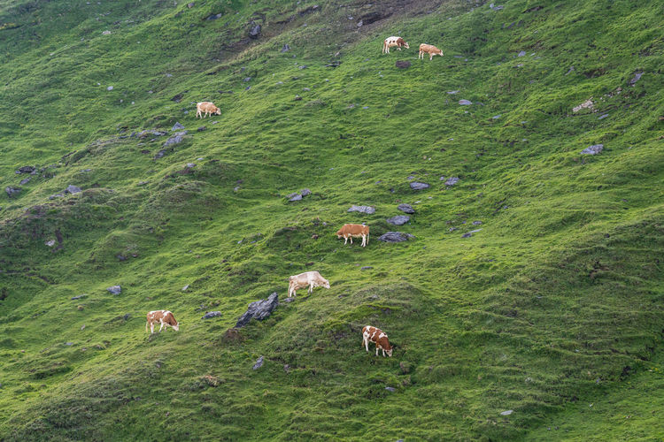 High angle view of sheep on grassy field