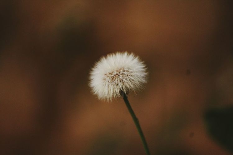 Flower Fragility Dandelion Plant Close-up Softness Growth Freshness Flower Head Nature Plant Stem Uncultivated Springtime Focus On Foreground Beauty In Nature Day Outdoors No People