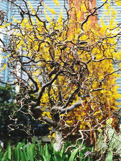Nature Growth Branch Tree Close-up No People Outdoors Day Yellow Low Angle View Beauty In Nature Fragility Freshness Twistedtree Spring 2017 Seattle, Washington