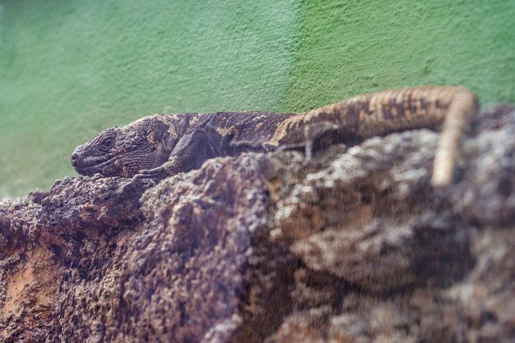 Lizard on rock against wall