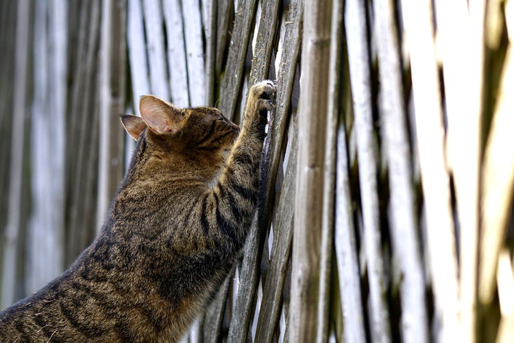 Cat scratching at a fence Bright Hard Shadows Sunlight Active Animal Behaviour Animal Portrait Animal Themes Cat Claws Contrast Fence Garden Outdoors Pet Predator Scratching Scratching Post Sunlight And Shadow Tabby Cat