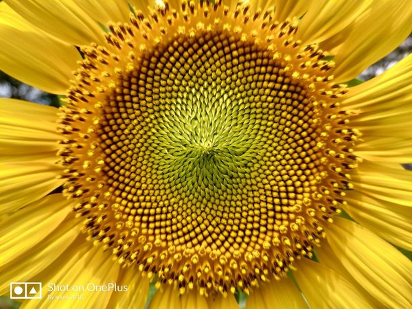 Sunflower 🌻 Nature_collection Naturelovers Nature_lovers Nature_landscape Nature Photography Flower Head Flower Concentric Black-eyed Susan Yellow Backgrounds Symmetry Sunflower Petal Beauty Sunflower Seed Stamen In Bloom Plant Life Botany Passion Flower