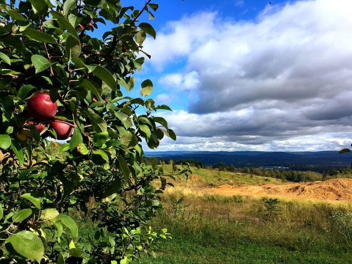 Apple picking Orchard Apple Picking Apple Plant Cloud - Sky Sky Growth Nature Beauty In Nature Tree Fruit No People Landscape Agriculture Field Land Day