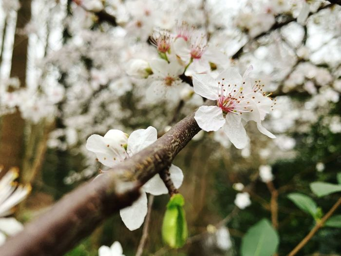 Plant Flower Flowering Plant Growth Freshness Beauty In Nature Tree Fragility Blossom Branch Vulnerability  Springtime White Color Day Nature Close-up Twig No People Pollen Petal Flower Head Outdoors Cherry Blossom Spring Cherry Tree