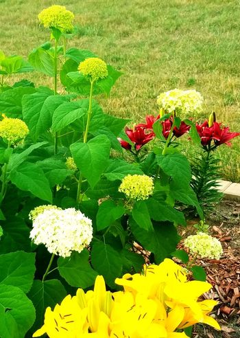 Garden Flowers and Plants Hydrangeas Hydrangea Lilies Of Many Colors Flowers Yellow Lillies Lily Garden Red Lilies Gardens Lilies Blossom Detail Garden Photography Detail Scenery Nature Photography Nature Plant Flower Head Flower Leaf Yellow Petal Close-up Blooming Plant Green Color Foliage Botany Focus EyeEmNewHere