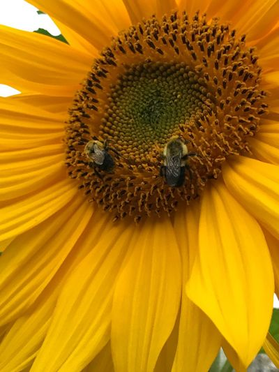 Sunflower, bees, pollen, yellow, natures way, insect, flower, outdoors Petal Flower Head Pollination