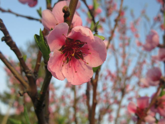 Beauty In Nature Blossom Branch Cherry Blossom Cherry Tree Close-up Flower Flower Head Flowering Plant Focus On Foreground Fragility Freshness Growth Inflorescence Nature No People Outdoors Petal Pink Color Plant Pollen Springtime Tree Vulnerability
