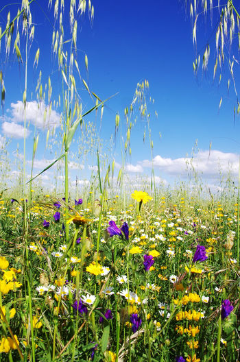 wild flowers and spikes against blue sky Spikes Beauty In Nature Blue Cloud - Sky Field Flower Flower Head Flowering Plant Growth Land Nature Plant Sky Sunlight Tranquil Scene Wild Flowers Yellow