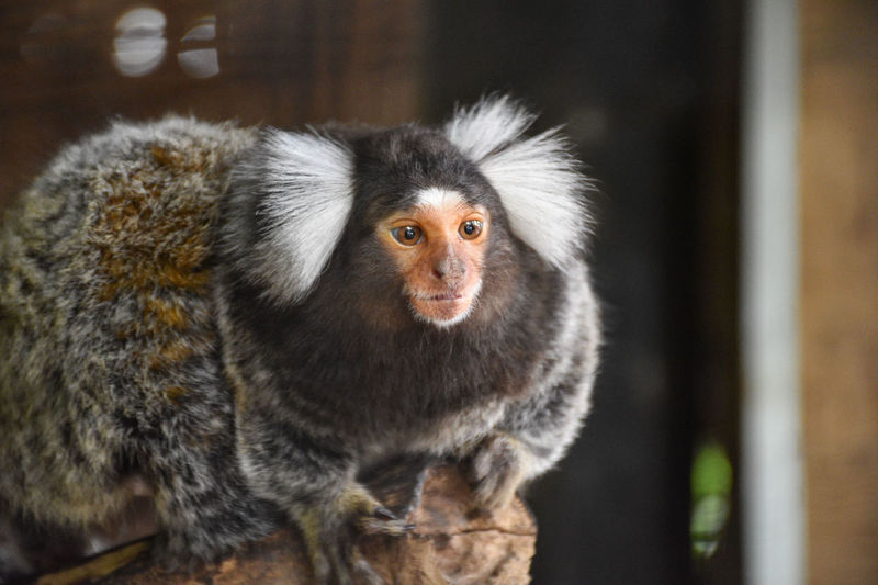 Some are free within the cages of the zoo. Rare Species Zoo Safari World Bangkok Thailand Bangkok Thailand. Caged Animals Caged Wildlife Marmoset Marmoset Monkey Marmoset Family Ape Young Animal Close-up Animal Eye #FREIHEITBERLIN EyeEmNewHere