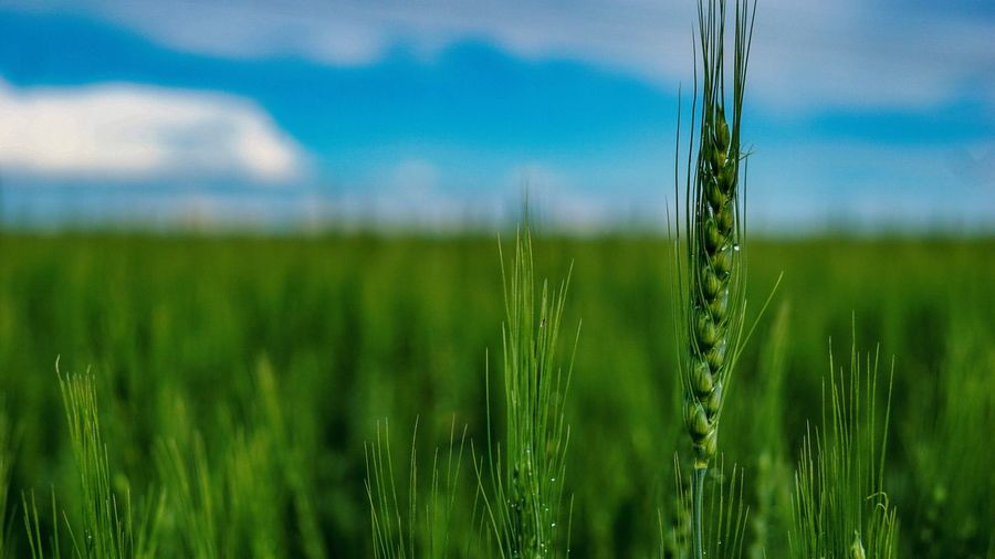 Dewy wheat field Green Color Plant Land Growth Field Landscape Nature Environment No People Beauty In Nature Agriculture Crop  Rural Scene Grass Tranquility Tranquil Scene Outdoors Wet Day Sky