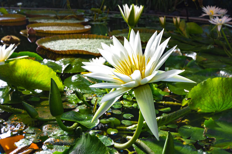 White Water Lily Beauty In Nature Blossom Close-up Floating On Water Flower Flower Head Fragility Freshness Green Color In Bloom Lotus Water Lily Plant Pond Single Flower Water Water Lily White Water Lily