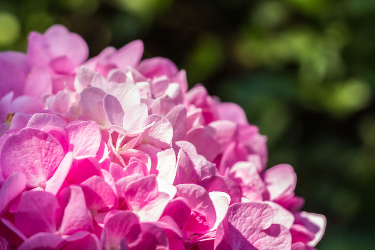 Beauty In Nature Blooming Bougainvillea Close-up Day Flower Flower Head Focus On Foreground Fragility Freshness Growth Nature No People Outdoors Petal Pink Color Plant