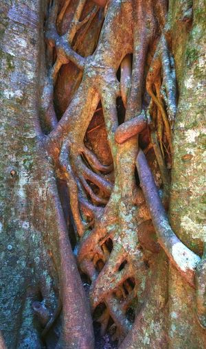 Close-up detail of strangler fig engulfing the host tree. Backgrounds Close-up Detail Fig Tree Focus On Foreground Nature No People Outdoors Rain Forest Strangler Fig Strength Tree Tree Trunk