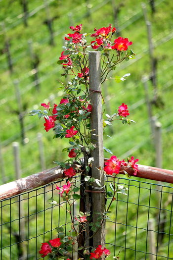 Plant Fence Boundary Barrier Nature Focus On Foreground Flowering Plant Growth Beauty In Nature Protection Security Freshness Safety Close-up Flower Winemaking Vineyard Vineyard Cultivation Valdobbiadene Prosecco Proseccohills Prosecco Land Proseccosuperiore Prosecco Wine Stradadelvino Strada Del Prosecco Italy❤️ Italia Veneto Veneto Italy Veneto Region The Week on EyeEm EyeEm Best Shots EyeEm Selects EyeEm Nature Lover EyeEm Gallery Landscape_Collection Landscape_photography Nature_collection Nature Photography Naturelovers Red Flower Red Rose
