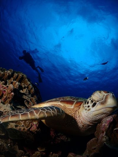 Napping turtle Turtle Animal Wildlife Underwater Saipan Divey2k