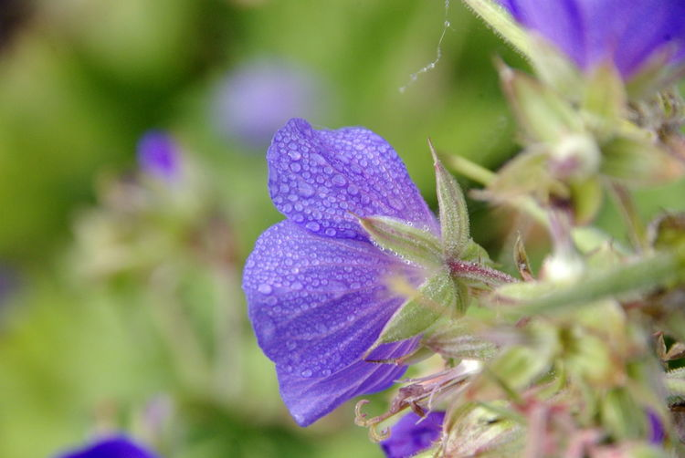 Storchschnabel Beauty In Nature Blooming Close-up Day Flower Flower Head Fragility Freshness Geranium Growth Nature No People Outdoors Petal Plant Purple