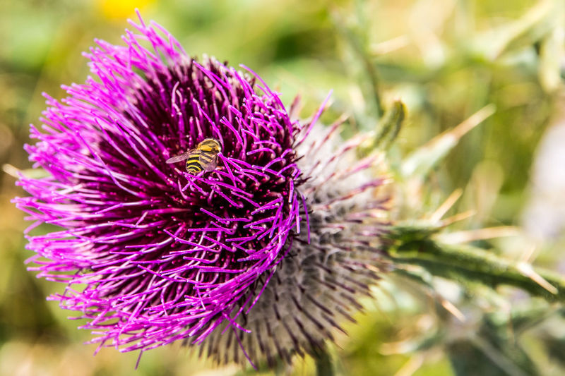 blooming thistle in the mountains, visited by a wasp Animal Themes Beauty In Nature Blooming Blossom Close Up Close-up Closeup Day Flower Flower Head Focus On Foreground Fragility Freshness Growth Insect Nature No People Outdoors Petal Plant Purple Sunlight Thistle Thistle Flower Wasp