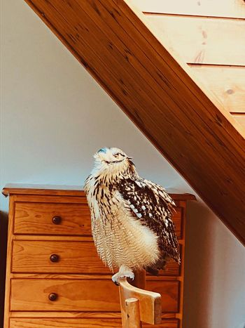 啓示 啓示 神の子 自然 特別 神秘 芸術 やわらかい 幸福 やさしい 光 静寂 モデル 猛禽類 フクロウ ベンガルワシミミズク Rock Eagle Owl 光と影 Bird Animal One Animal Wood - Material Animals In The Wild No People Owl Day Animal Wildlife Nature