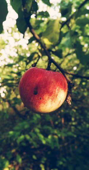 Wild Apple Trees Aples Autumn Nature Garden Ukraine
