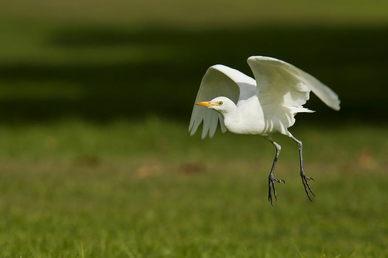 Great egret perching on field
