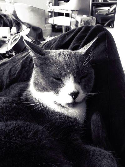 Lap Me N My Cat Cat♡ Blk N Wht