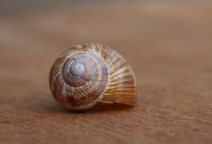 empty snail shell Animal Shell Beauty In Nature Close-up Empty Focus On Foreground Nature Outdoors Schneckenhaus Shell Snail Snail Snail Collection Snail Photography Snail Shell Snail ❤