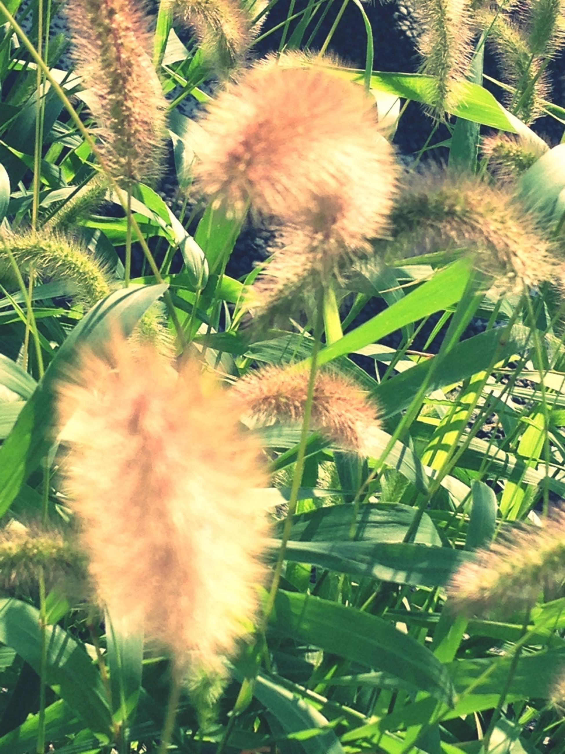 growth, flower, freshness, plant, nature, fragility, beauty in nature, close-up, dandelion, green color, flower head, uncultivated, day, outdoors, spiked, thorn, no people, focus on foreground, leaf, single flower