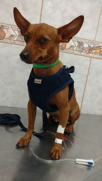 sick dog getting medication at the vet Animal Themes Dog Domestic Animals Indoors  Mammal Medication One Animal Pets Sick Sitting Vet  Veterinary
