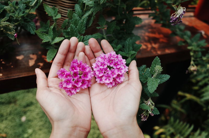 Close-up of hand holding pink flowering plants