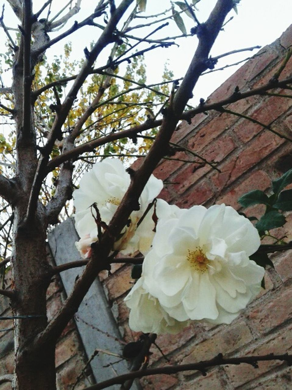 flower, fragility, petal, blossom, tree, beauty in nature, white color, growth, branch, nature, freshness, flower head, springtime, apple blossom, botany, no people, day, blooming, pollen, stamen, close-up, plum blossom, low angle view, outdoors