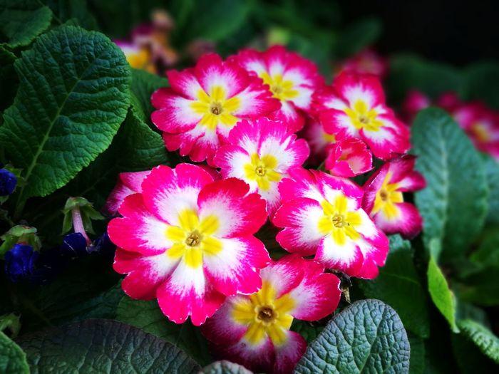 Thailand DoiAngKhang,Fang,ChiangMai Chiang Mai   Thailand Nature_collection Flawer🌸 Beauty In Nature Flower Head Millennial Pink