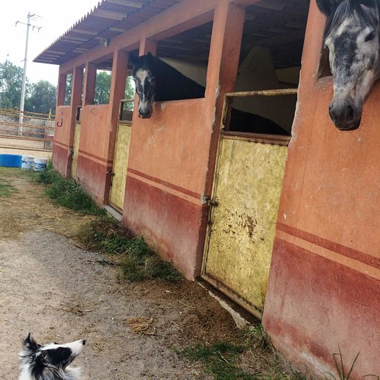 Dog Dog And Horses Dog Meets Horses Horses Horse Sheltie