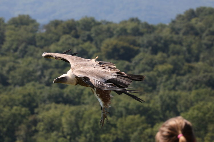 Vulture flying in mid-air