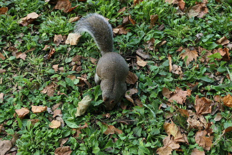 Squirrel Animal Themes Animals In The Wild Leaf Nature Squirrel Closeup Squirrel Photography St James Park London  Su'q