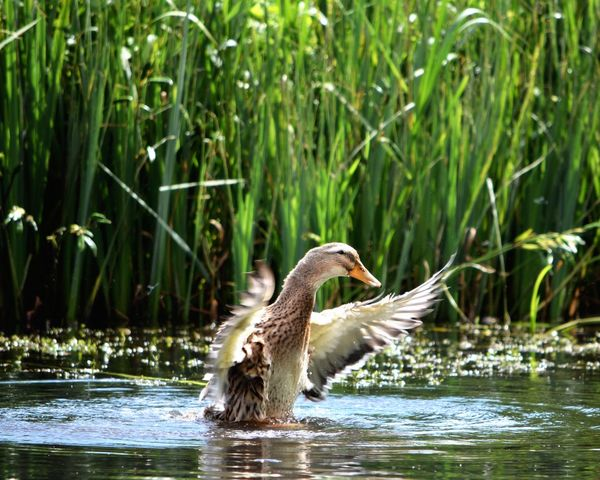 Water Animals In The Wild Focus On Foreground Bird Duck Wings Flapping Lake Animal Themes No People Spread Wings Bird Photography Out On The Farm Feathers Summer Views Nature In My Garden EyeEm Selects